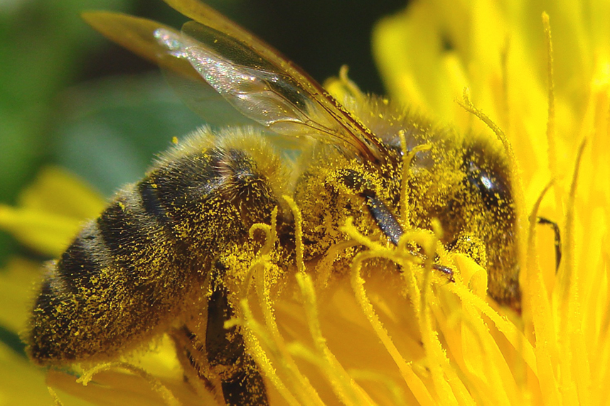 06262014_pollinatorpartytime_bee