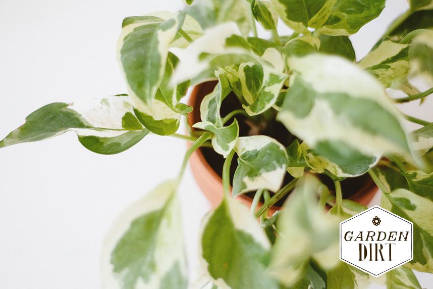 caringforyourhouseplants2_gardendirt