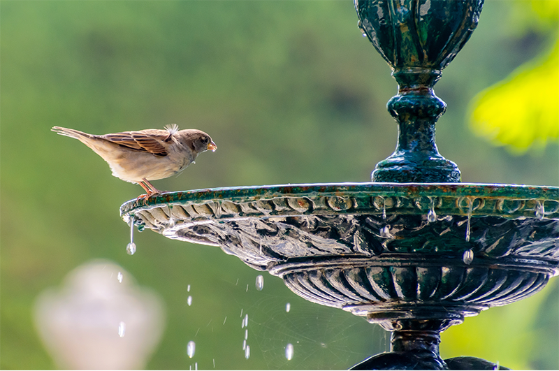 greenstreet-gardens-maryland-sparrow-drinking-from-bird-bath