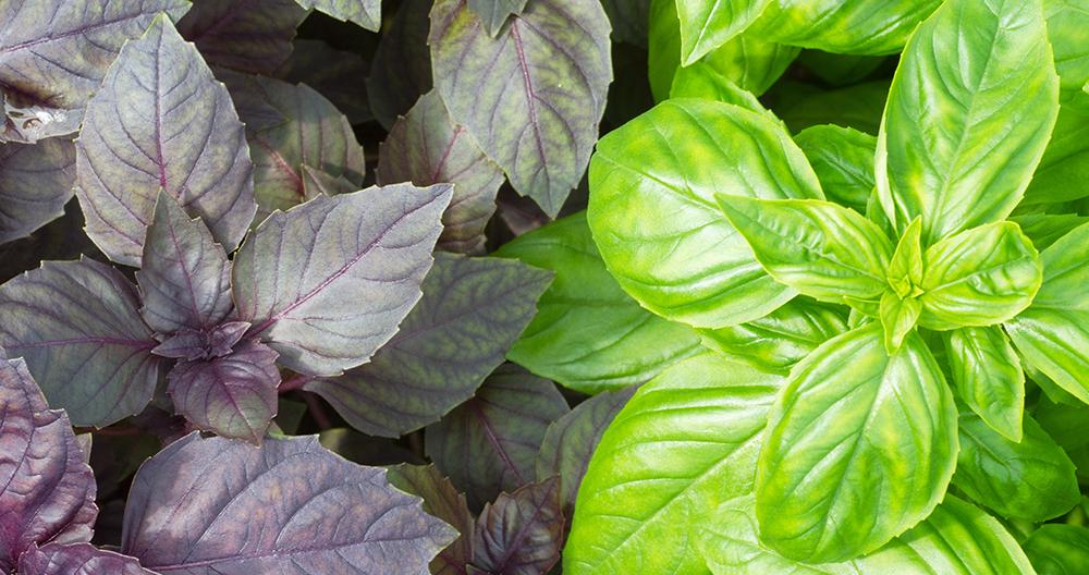 basil 101 garden to plate maryland virginia varieties