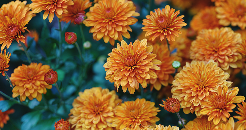 perennials fall color alexandria chrysanthemums