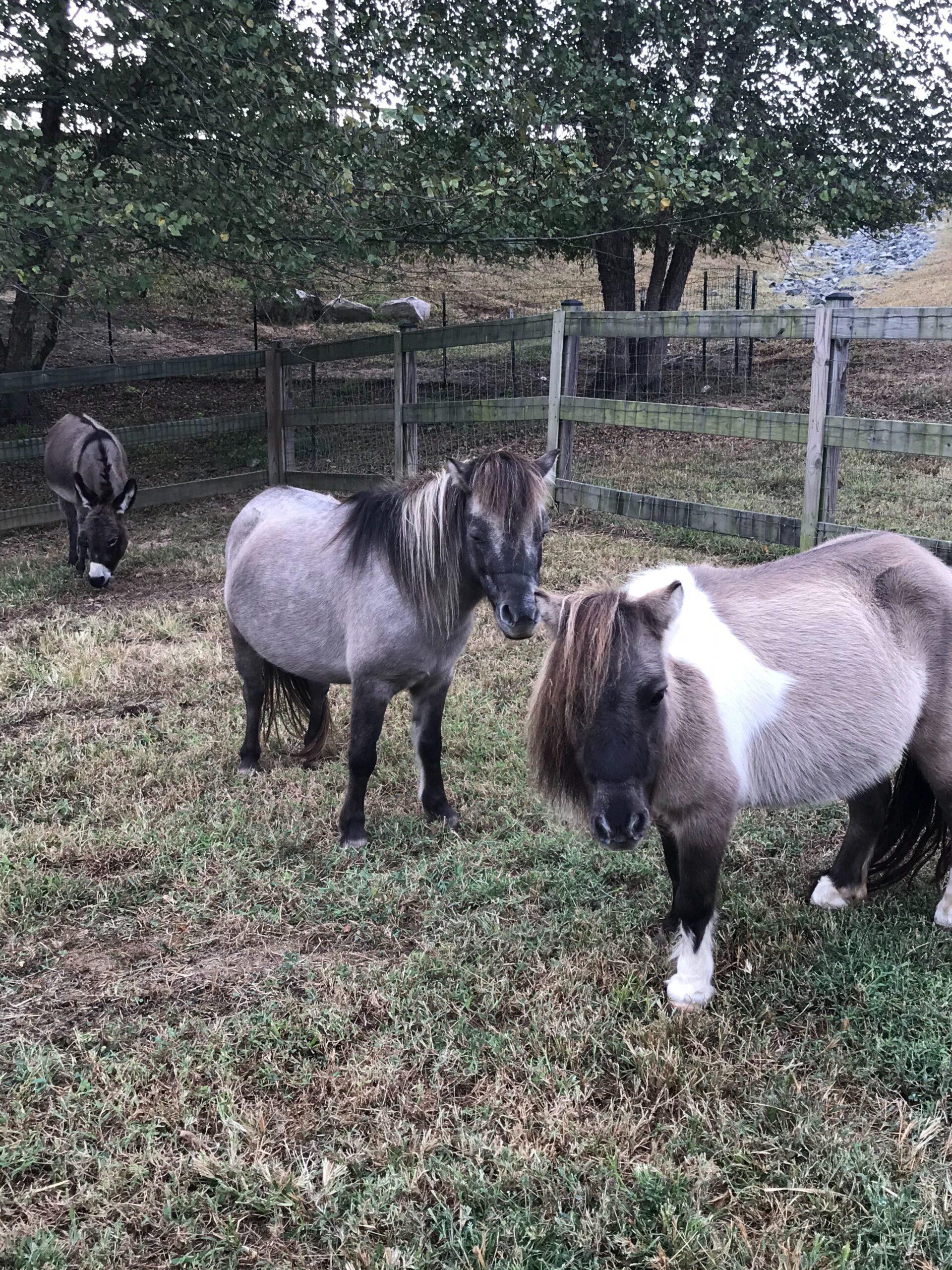 Mini ponies at Greenstreet Gardens