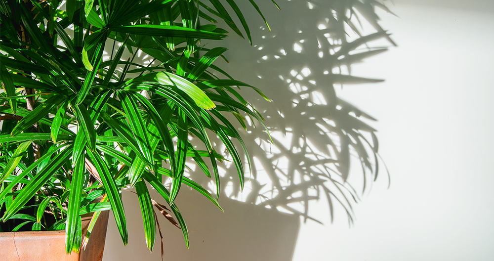 air cleaning plants alexandria bamboo palm