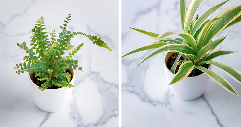 air cleaning plants alexandria boston fern spider plant