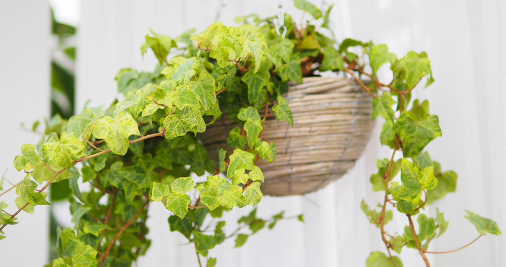 air cleaning plants alexandria english ivy