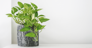 air cleaning plants alexandria pothos