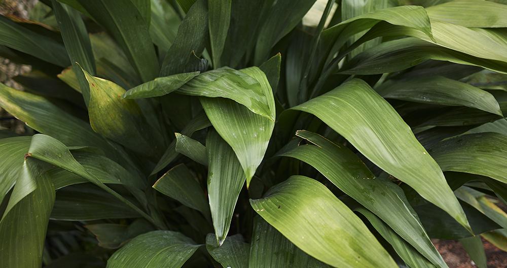 best houseplants growing low light alexandria cast iron plant