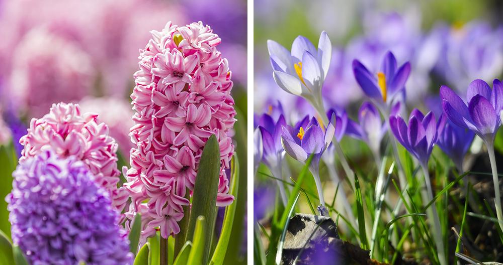 bulbs plant spring color alexandria hyacinth crocuses