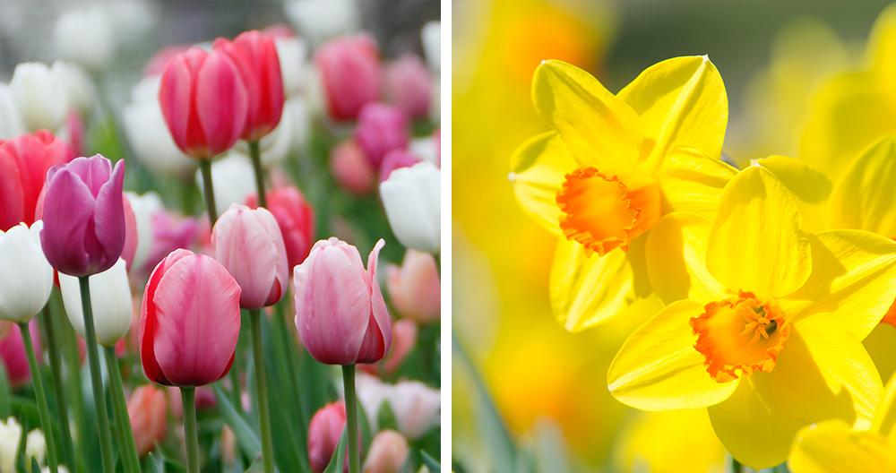 bulbs plant spring color alexandria tulips daffodils