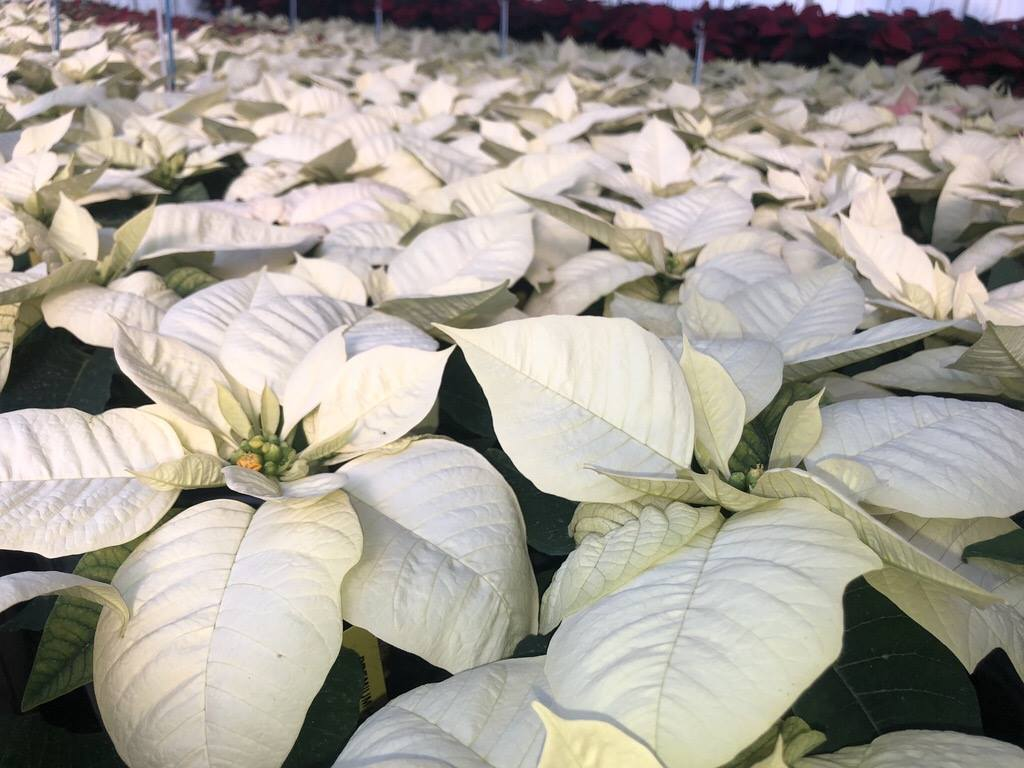 Homegrown poinsettias at Greenstreet Gardens