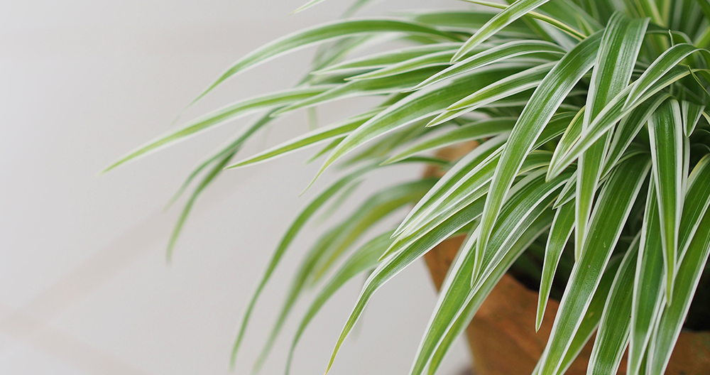 pet friendly spider plant