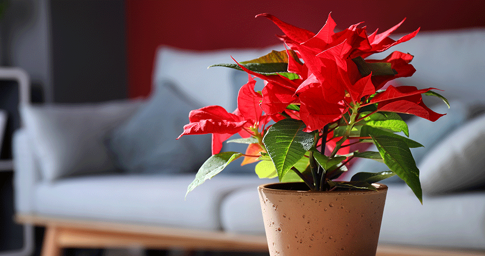 Poinsettias-How-to-Select-and-Care-for-Them-care-light