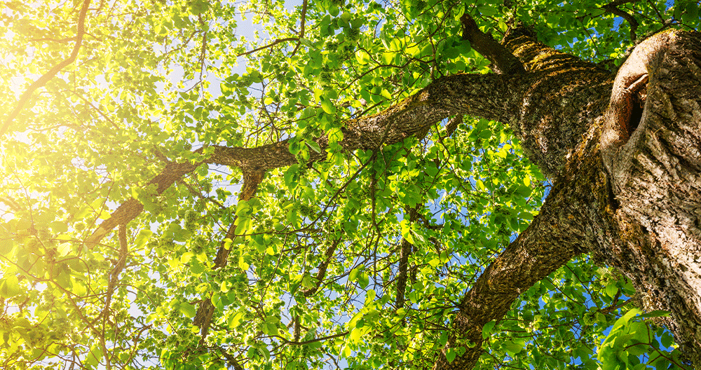The Best Shade Trees for Your Backyard   Greenstreet Gardens