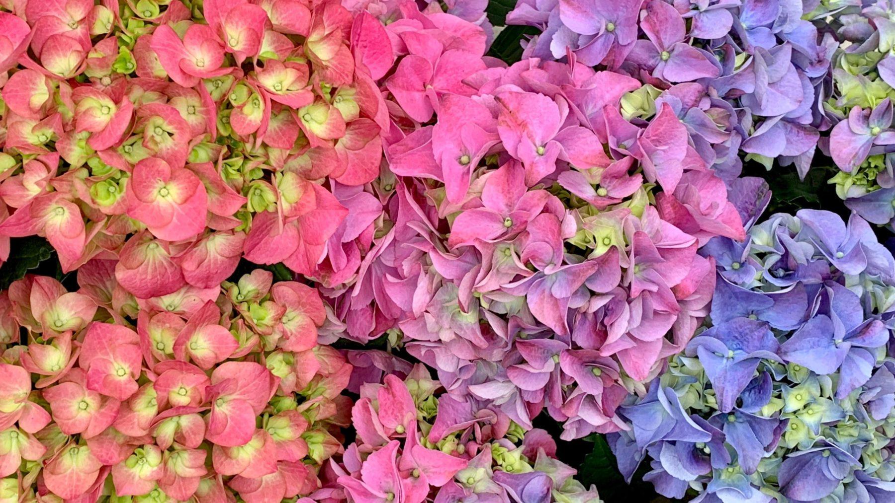 Greenstreet.Seasonal.Hydrangea.Color.03.30.2020