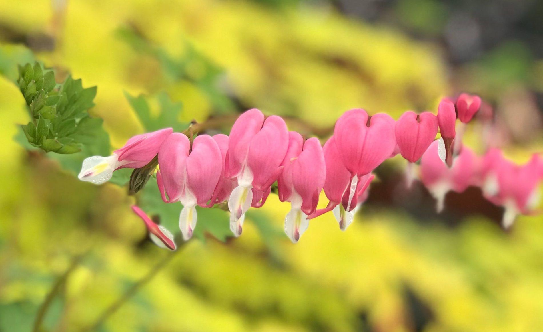 Greenstreet.Perennial.Pink.03.12.2020
